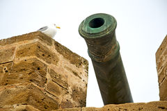 In africa morocco  green bronze cannon bird Royalty Free Stock Image