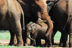 Africa- A Mother Elephant Protecting Her Calf With Her Trunk. Close up of a herd of Elephants with a mother protecting, or showing affection to her calf by stock photos
