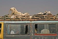 africa nötkreaturgambia transport Arkivfoto