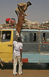 africa nötkreaturgambia transport Arkivbilder