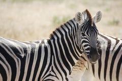 africa namibia Arkivbild