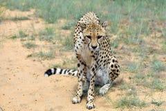 Africa. Namibia. Cheetah Stock Photo