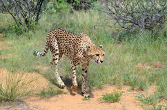 Africa. Namibia. Cheetah Royalty Free Stock Photo