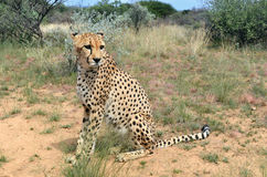 Africa. Namibia. Cheetah Stock Photos