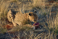 Africa. Namibia. Cheetah Stock Images