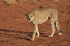 Africa. Namibia. Cheetah Stock Photography