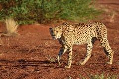Africa. Namibia. Cheetah Royalty Free Stock Images