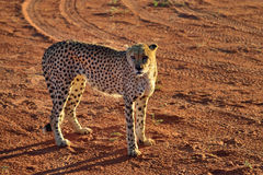 Africa. Namibia. Cheetah Royalty Free Stock Photos