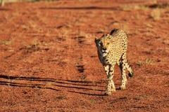 Africa. Namibia. Cheetah Stock Photography