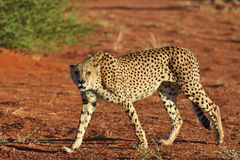 Africa. Namibia. Cheetah Royalty Free Stock Images