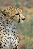 Africa. Namibia. Cheetah Stock Image