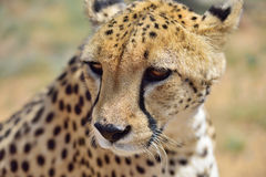 Africa. Namibia. Cheetah Royalty Free Stock Photography