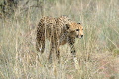 Africa. Namibia. Cheetah Stock Images