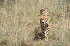 Africa. Namibia. Cheetah Royalty Free Stock Photos