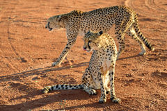 Africa. Namibia. Cheetahs Royalty Free Stock Images