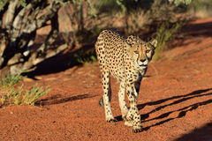 africa Namibia gepard zdjęcia stock