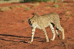 Africa. Namibia. Kalahari. Cheetah. Wild Cheetah In the Kalahari desert at sunset. African Savannah, Namibia. Warm evening light Stock Image
