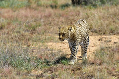 Africa. Namibia. leopard Royalty Free Stock Photography
