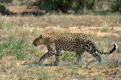 Africa. Namibia. leopard Stock Photo