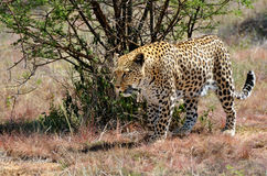 Africa. Namibia. leopard Stock Images