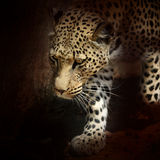 Africa. Namibia. Leopard Royalty Free Stock Image