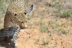 Africa. Namibia. leopard Royalty Free Stock Photos