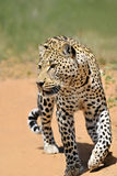 Africa. Namibia. leopard Royalty Free Stock Images