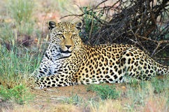 Africa. Namibia. leopard Royalty Free Stock Photo
