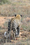 Africa. Namibia. leopard Stock Photography