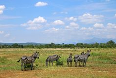 Africa National Park savanna landscape with zebras. Africa Mikumi National Park, landscape of savanna with wild zebras stock images