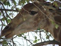 africa near berömda kanonkopberg den pittoreska södra fjädervingården Arkivfoton