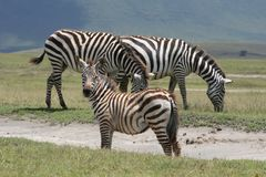 Africa,Ngorongoro reserve zebre of Burchell Stock Photo