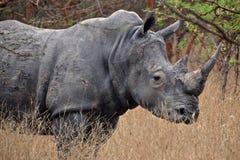 africa noshörning Arkivfoton