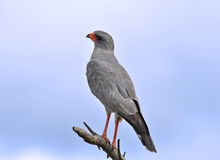 Africa: Pale Chanting Goshawk. Pale Chanting goshawk (Melierax canorus) perched on a branch, Kruger National Park, South Africa Stock Photography