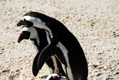 Africa- Penguins Mating While Another Averts Their Gaze stock image