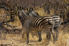 Beautiful Burchell`s Zebra on the African Plains. Africa is the place to see these striking animals with their black and white stripes, sturdy strong prey with stock photo