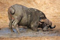 africa południe afrykańscy bawoli Fotografia Stock