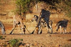 africa południe waterhole Zdjęcia Royalty Free