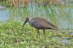africa ptasi hadida ibis fotografia stock
