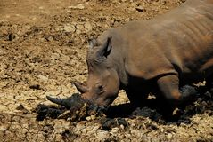 Africa- A Rhinoceros Kneeling to Dig a Hole With Its Horn stock images