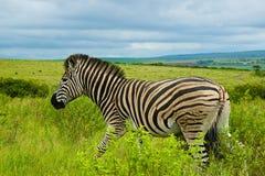 africa södra sebra Royaltyfria Foton