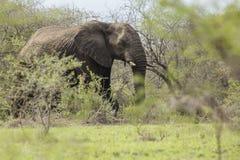africa słonia południe zdjęcie royalty free