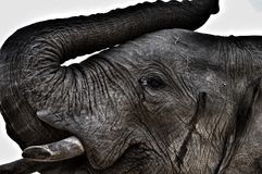 Africa`s gentle giants. Royalty Free Stock Image