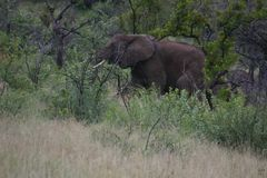 Elephant foraging royalty free stock photo