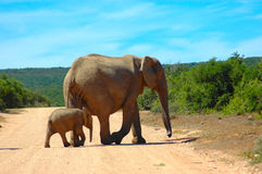 Africa's Wildlife. Wildlife in Africa: An African elephant cow and her calf walking together in a game reserve in South Africa