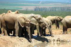 Africa's wildlife. A big herd of many wild African elephants standing together at a waterhole, playing with the water, drinking and watching wildlife in a game Stock Images