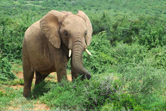 Africa's wildlife. A young African elephant with big ears, trunk and tusks feeding in the Addo Elephant Park in South Africa Royalty Free Stock Photography