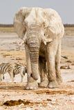 africa safari Arkivfoton