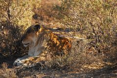 Africa- Safari- Close Up of a Lioness Resting in the Shade royalty free stock image