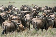 africa safari serengeti Tanzania wilderbeast Fotografia Stock